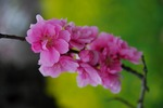 Resized 桃と菜の花など‥ (3).jpg
