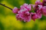 Resized 桃と菜の花など‥ (4).jpg
