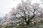 Resized 延命地蔵堂のアズマヒガン桜‥(須坂市) (1).jpg