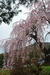 Resized 弁天さんのしだれ桜‥(須坂市) (2).jpg