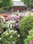 Resized 根津神社の躑躅まつり‥.jpg