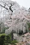Resized 長妙寺のしだれ桜‥(須坂市) (1).jpg
