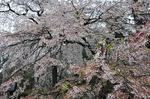 Resized 長妙寺のしだれ桜‥(須坂市) (13).jpg