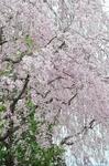 Resized 須坂市臥竜公園の桜‥.jpg
