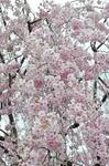Resized 須坂市臥竜公園の桜‥ (1).jpg