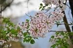 Resized 須坂市臥竜公園の桜‥ (10).jpg