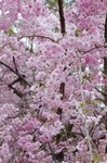 Resized 須坂市臥竜公園の桜‥ (2).jpg