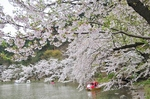 Resized 須坂市臥竜公園の桜‥ (6).jpg