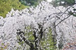 Resized 須坂市臥竜公園の桜‥ (9).jpg